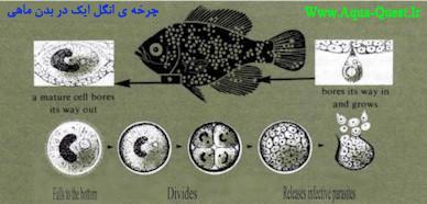چرخه زندگی انگل ایک در بدن ماهی