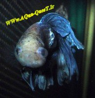 Pop Eye Fish Disease