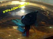 ماهی فایتر مبتلا به بیماری برآمدگی یا ترکیدگی چشم