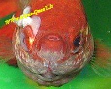 پیشرفت بیماری در بدن ماهی